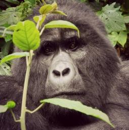 Gorilla Trek7